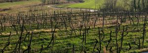 Galea_vineyard_southward